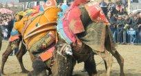 deve güreşlerine Turgutlu halkı ilgi göstermedi.
